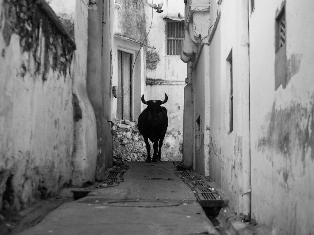 Holy Cow, Udaipur - Rajasthan